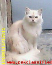 BEAUTIFUL PERSION BREEDING CAT FOR SAL